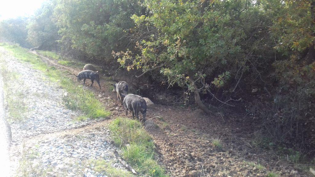 Жителите од овој крај со шепотење велат дека во Мегленци има двајца одгледувачи и дека прасињата ги продаваат во Прилепско. Во Мегленци никој не сакаше да зборува на оваа тема (Фото: СДК.МК)