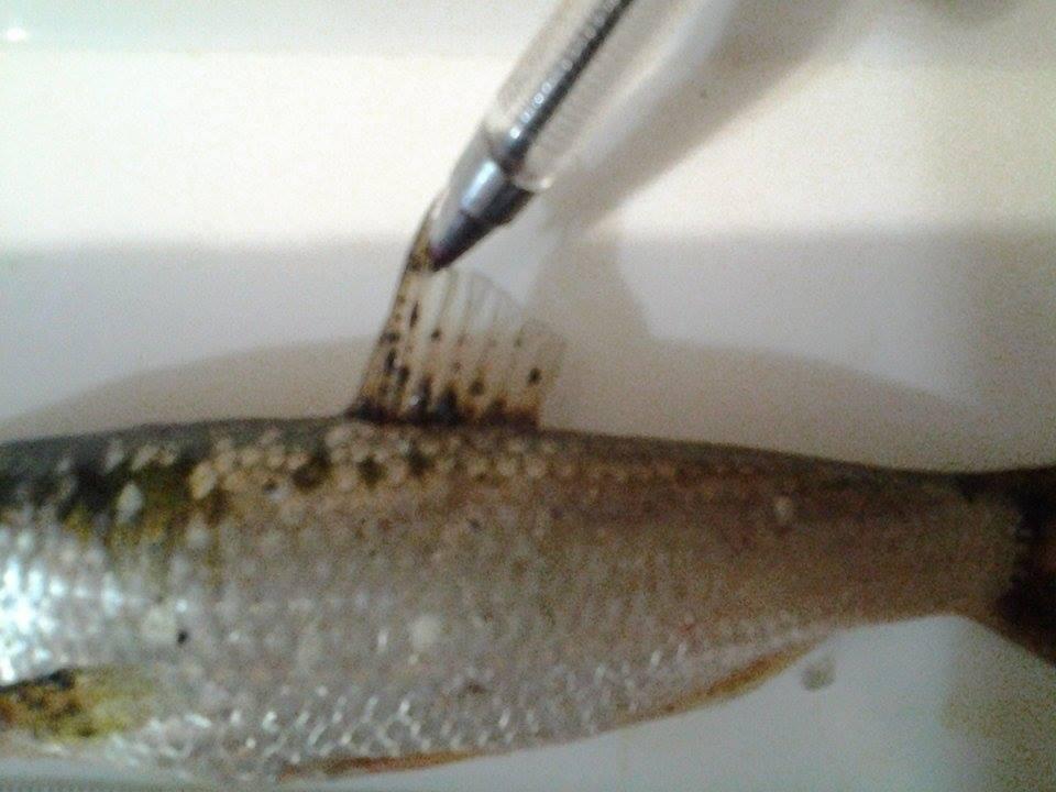 Овој природен хибрид ги има особините од двата свои родители, вели проф. д-р Трајче Талевски од Хидробиолошкиот завод во Охрид, кој прв ја документирал рибата мутант (Фото: архива на Хидробиолошкиот завод во Охрид)